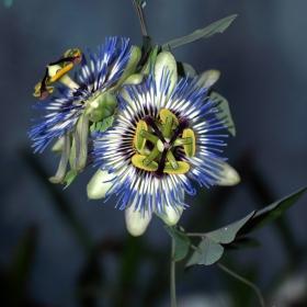 Цветето на страстта (или страстта на фотографа)