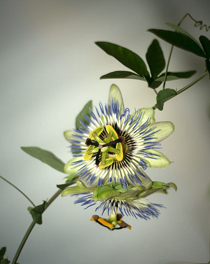Цветето на страстта (или страстта на фотографа)1