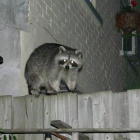 ракун, вечерен гост