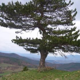 едно хубаво дърво от крепоста цепина