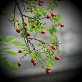 Есента... Там, на шипковия храст...