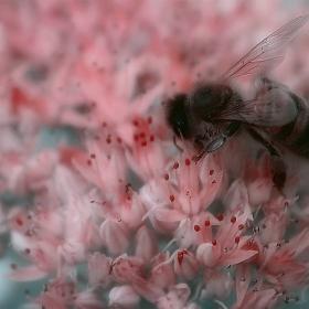 Пчеличка на розов цвят