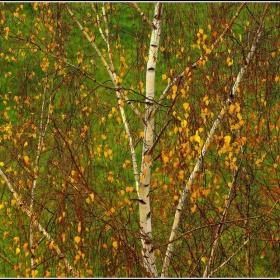 Бреза.Есен.