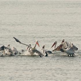 Кой храни пеликаните...