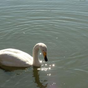 Уникален лебед