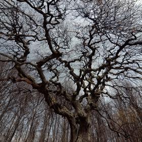 700годишен Кичест габър