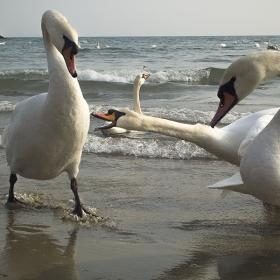 Лебедова атака