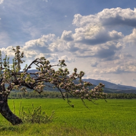 Старата ябълка цъфти
