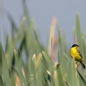 Жълта стърчиопашка, пролетно