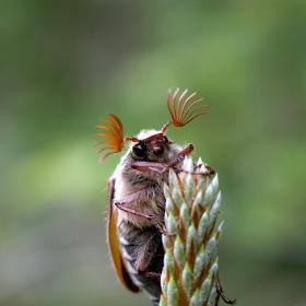 Юнски бръмбар