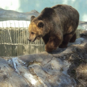 Руска кафява мечка