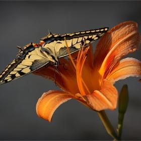 Пеперудено цветно