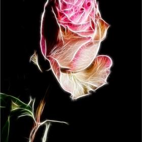 И пак за царицата на розите.