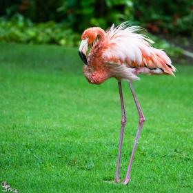 розово фламинго (Phoenicopterus roseus)