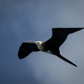 Ascension Frigatebird (Fregata aquila)