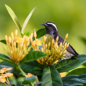 The Bananaquit (Coereba flaveola)