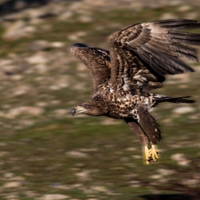 Морски орел-нисък полет с къс месо