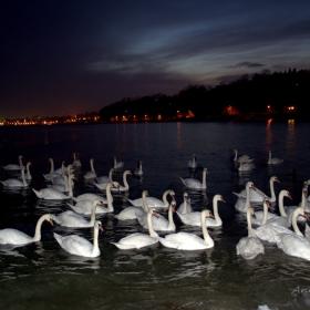 Нощни лебеди