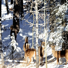 White - tailed Deers