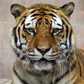 Портрет на тигъра от зоологическата градина!