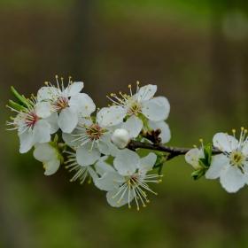 Виж отново китна пролет е дошла... Сливата на двора пак е цъфнала....
