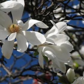 Да усетим дъха на пролетта с клонче магнолия...