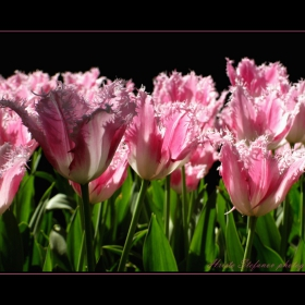 Танцът на цветята