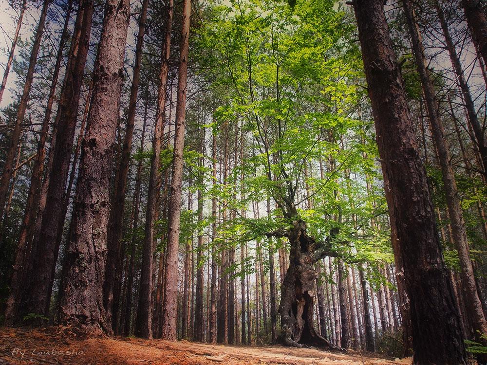 Мистичната гора към Белинташ