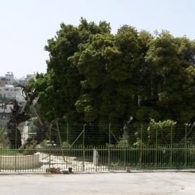 Мамврийския дъб в Хеврон