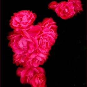 Роза от градинката