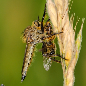 Robberfly vs vespfly