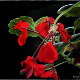 цвете мило,