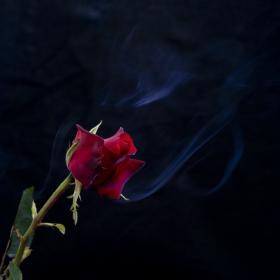 Дъхът на розата