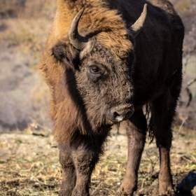Зубър (Bison bonasus)