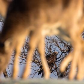 скален орел през краката на кошута