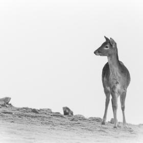 малък елен