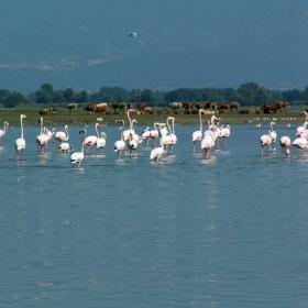 Фламингите 1