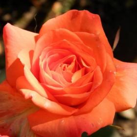 Розата се зарадва на слънчицето!:)