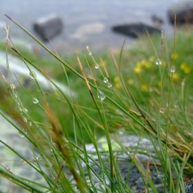 Рилска роса