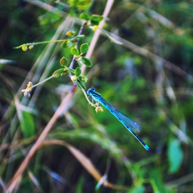 Odonata (Водно конче)