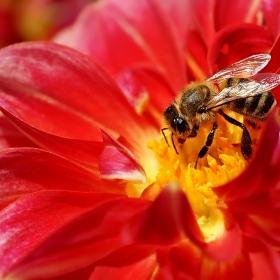 работната пчела