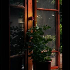 дали умират розите