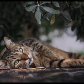 Котка под маслина...