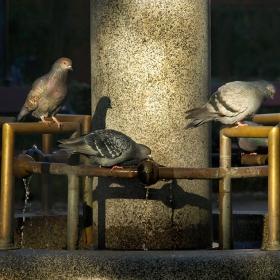 Софийски гълъби на водопой