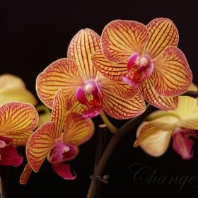 Phalaenopsis - 3