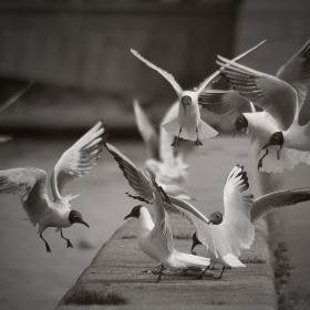 Градски чайки