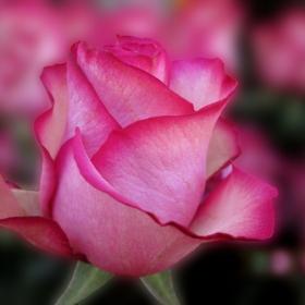 Да ви е розова седмицата!