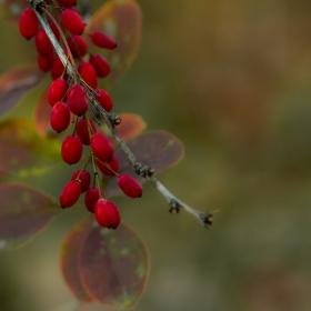 Berberis vulgaris - Carl Zeiss Jena Sonar 135mm f3.5