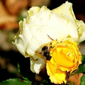Докато цъфтят, пчелите ще ги има