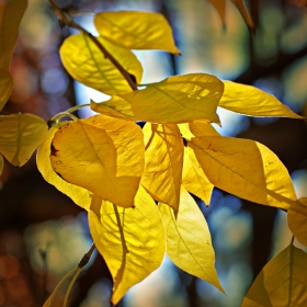 Sunlit Yellow Leaves